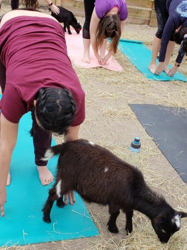 Goat Yoga Feb 2019 (115)